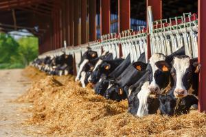 Vacas pastando en una granja.